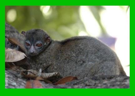 Hawks' Sportive Lemur