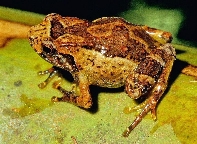 Anodonthyla jeanbai