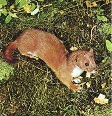 Amazon Weasel