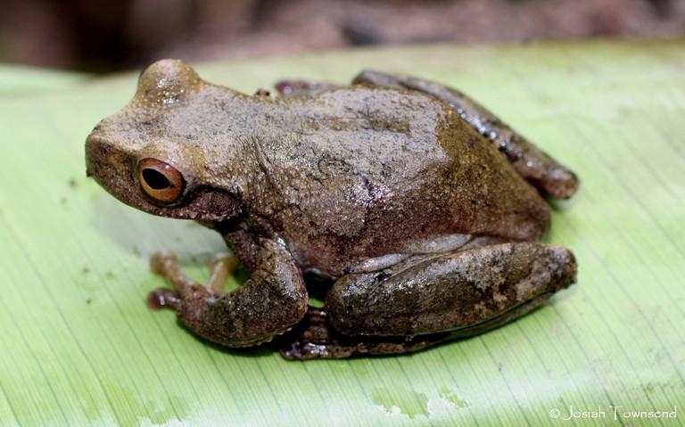 Ceiba Stream Frog