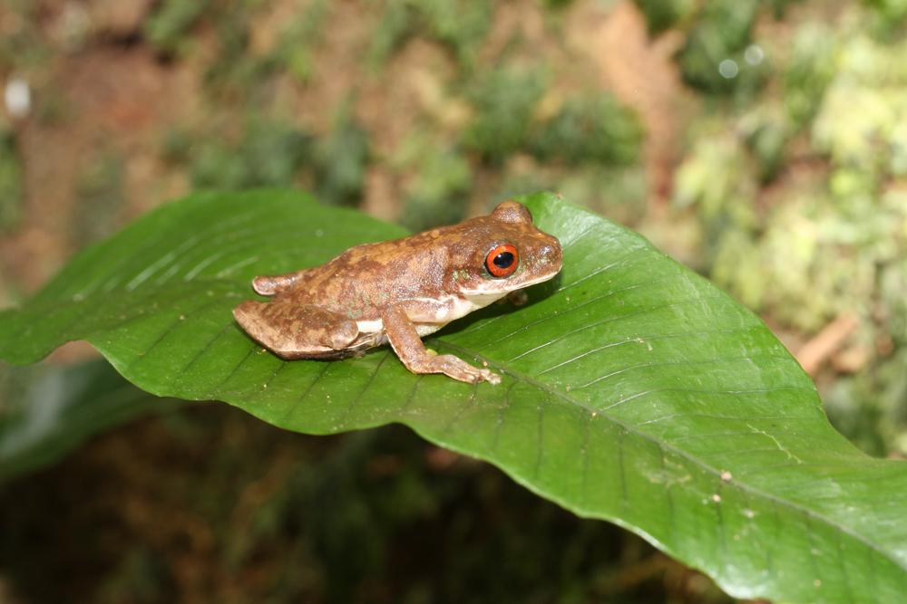 Guatemala Stream Frog