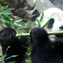 Giant Panda Eating Bamboo.JPG