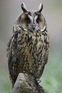 Long-Eared Owl-1