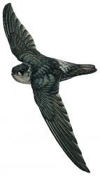 Halmahera Swiftlet