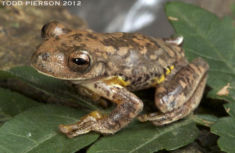 Copan Stream Frog
