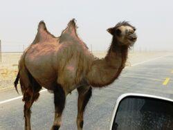 Wild Bactrian camel on road east of Yarkand.jpg