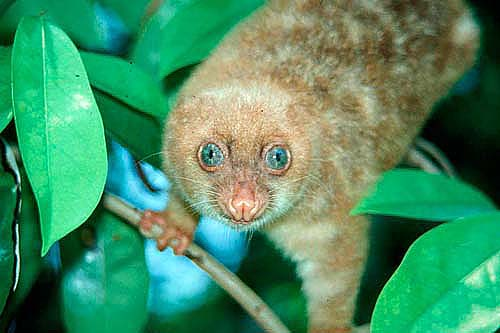 Blue-eyed Spotted Cuscus