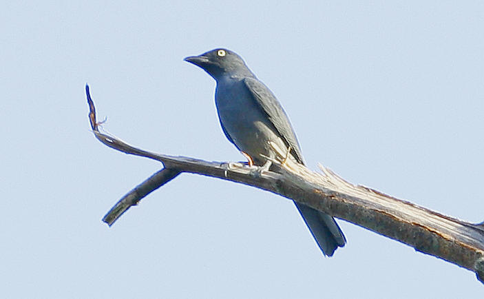 Bar-bellied Cuckooshrike