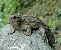 Tuatara (Sphenodon punctatus).jpg