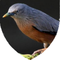 Shield aves.png