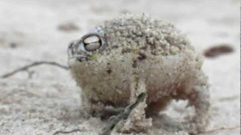 Worlds_Cutest_Frog_-_Desert_Rain_Frog
