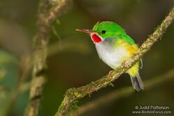 93-puerto-rican-tody-todus-mexicanus-by-judd-patterson.jpg