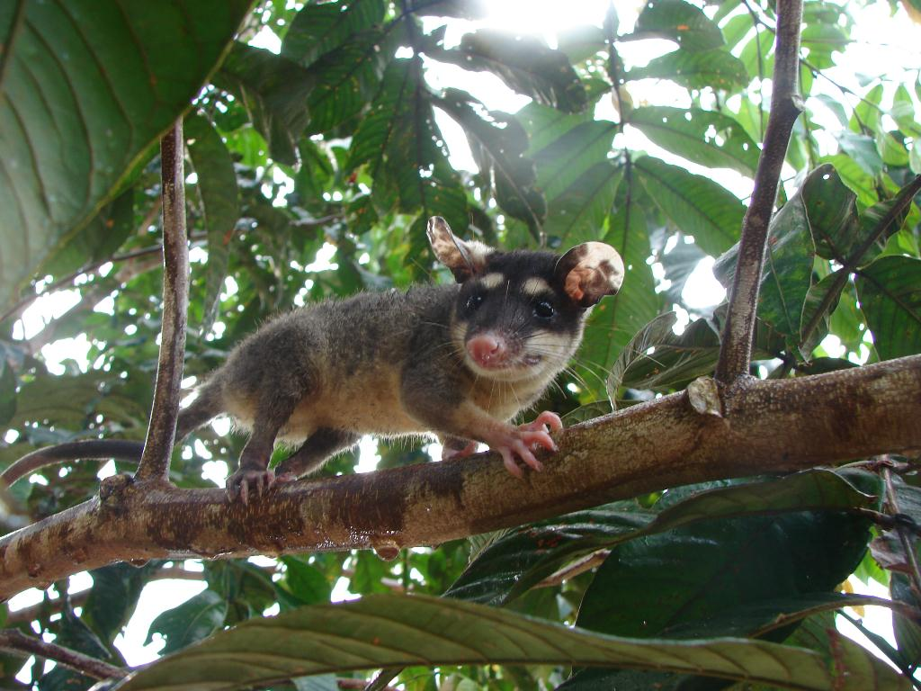 Anderson's Four-eyed Opossum