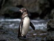 Galapagos Penguin-1