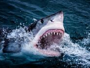 Great White Shark coming out of the surface