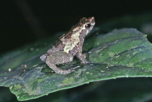 Bates' Tree Toad
