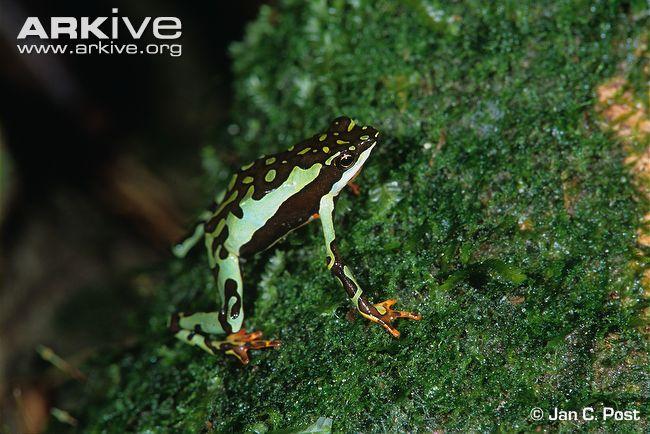 Atelopus pulcher
