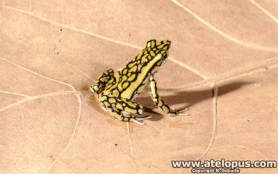 Atelopus reticulatus