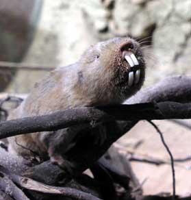 Ansell's Mole-rat