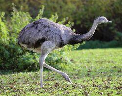 Nandu Rhea americana Tierpark Hellabrunn-1.jpg
