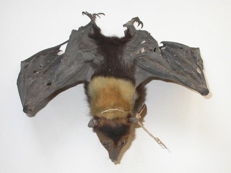 Ceram Fruit Bat