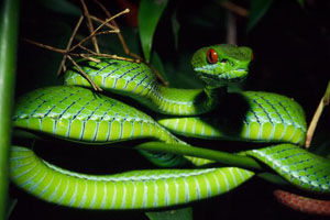 Ruby Eyed Green Pit Viper Animal Database Fandom