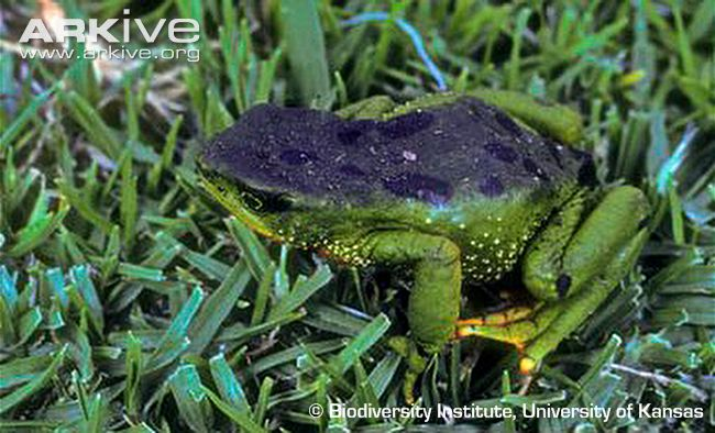 Azuay Stubfoot Toad