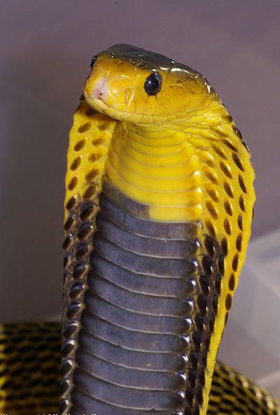 Samar Cobra