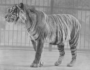 Javan Tiger at the London Zoo in 1942