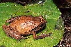 Plethodontohyla inguinalis.jpg