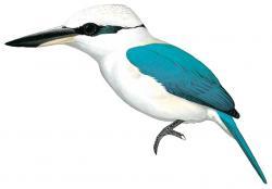 Marquesan Kingfisher