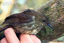 Dapple-throat-adult-held-by-scientist-view-from-side.jpg