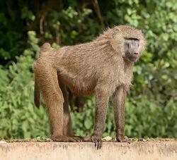 1024px-Olive baboon Ngorongoro.jpg