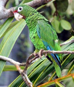 506px-Puerto Rican parrot.jpg