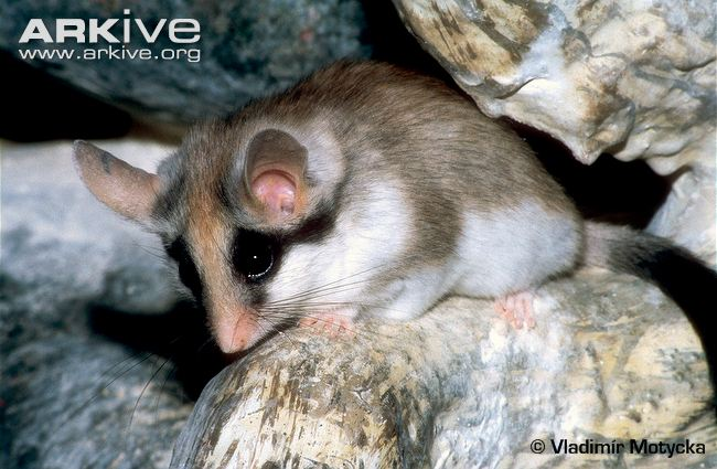 Asian Garden Dormouse