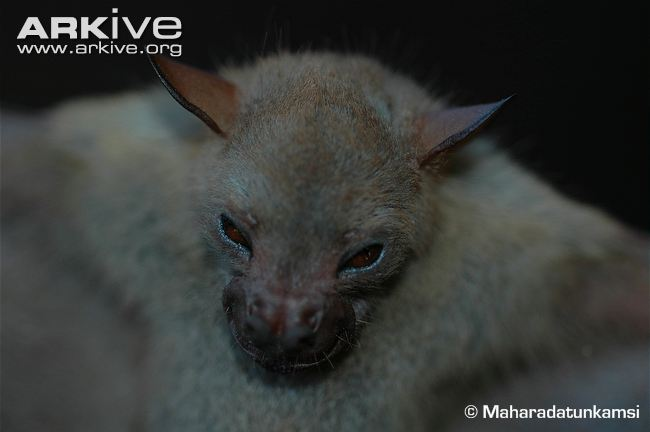 Javan Tailless Fruit Bat