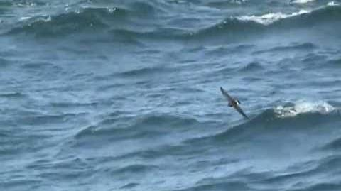 Rediscovery of the New Zealand Storm-petrel the original footage