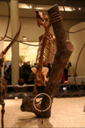 Megaladapis skeleton in the New York Museum