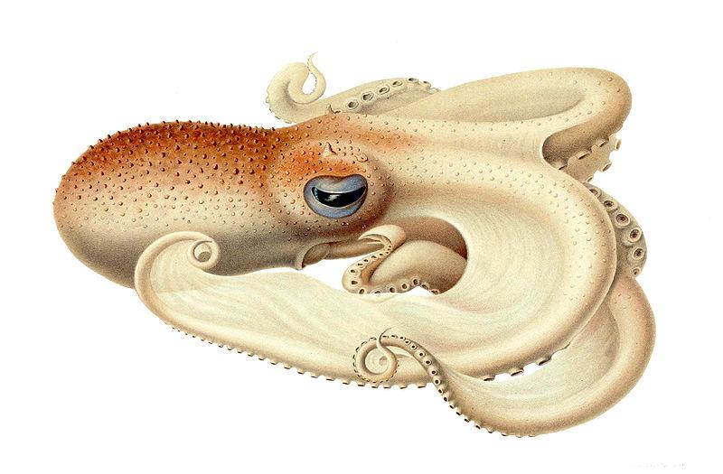 Angel Octopus