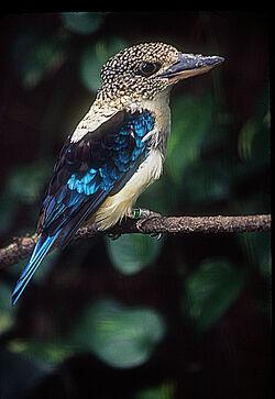 Aru giant kingfisher (Spangled kookaburra).jpg