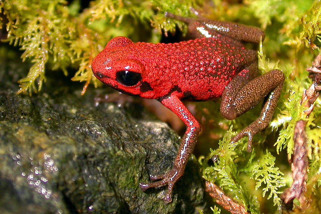 Andean Poison Frog