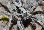 Great Fox-spider (Alopecosa fabrilis)