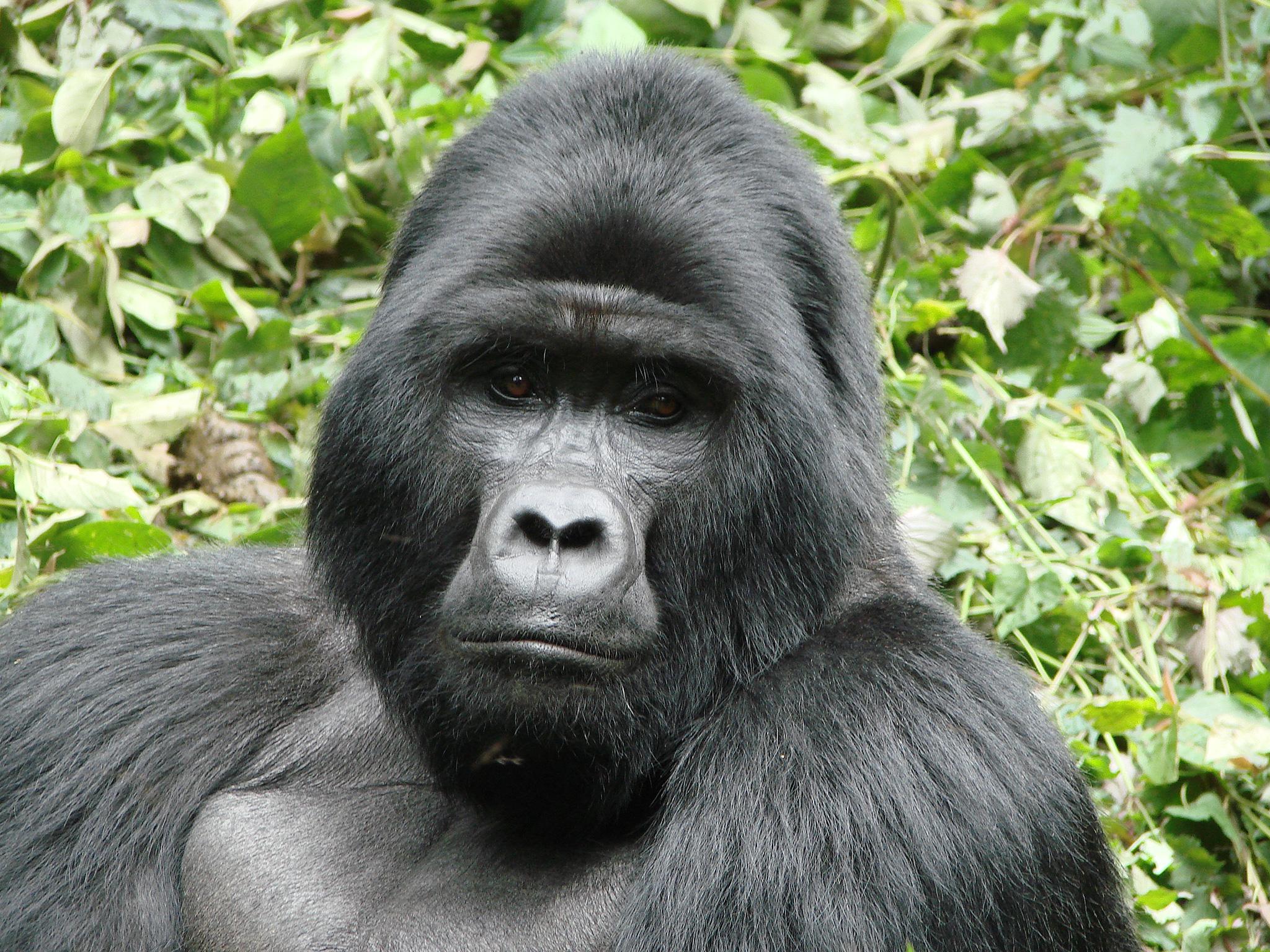 Eastern Mountain Gorilla