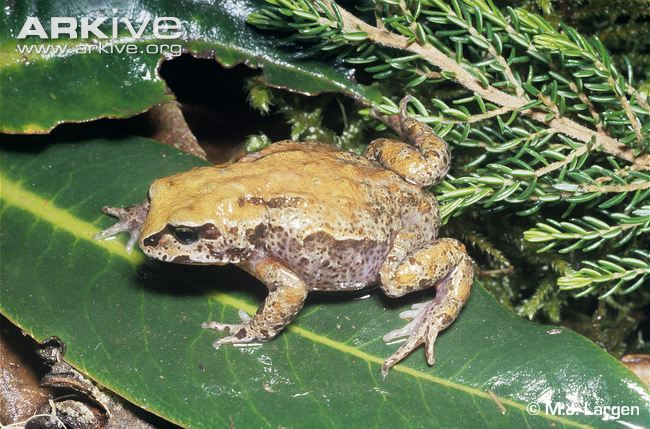 Malcolm's Ethiopian Toad