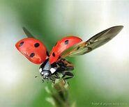Ladybug-1