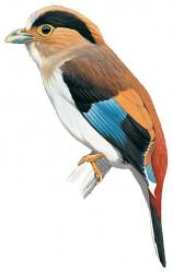 Silver-breasted Broadbill