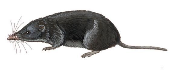 Lesser Large-headed Shrew