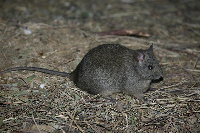 Greater Stick-nest Rat