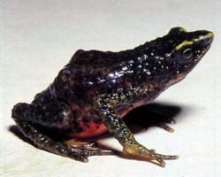 Atelopus subornatus