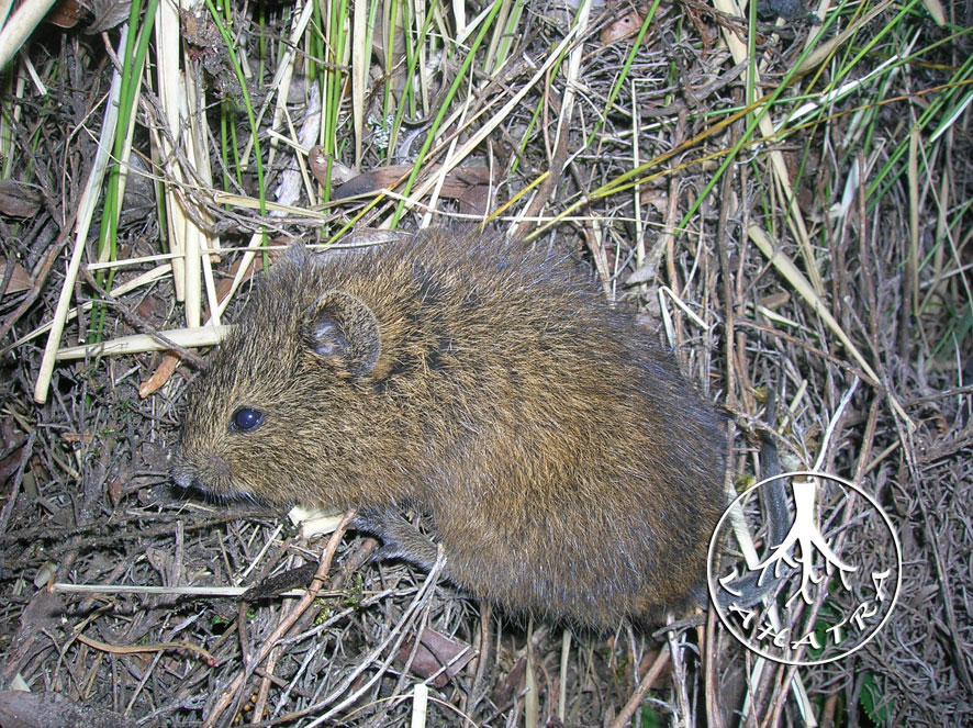Betsileo Short-tailed Rat